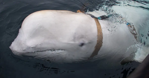 The group of fishermen in Norway found a whale wearing a strange harness with the words