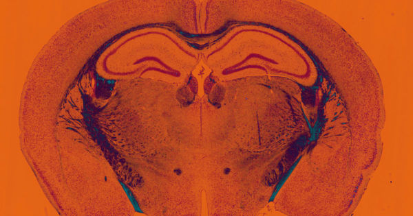 Scientists Keep Brain Tissue From Dead Mice Alive For Weeks