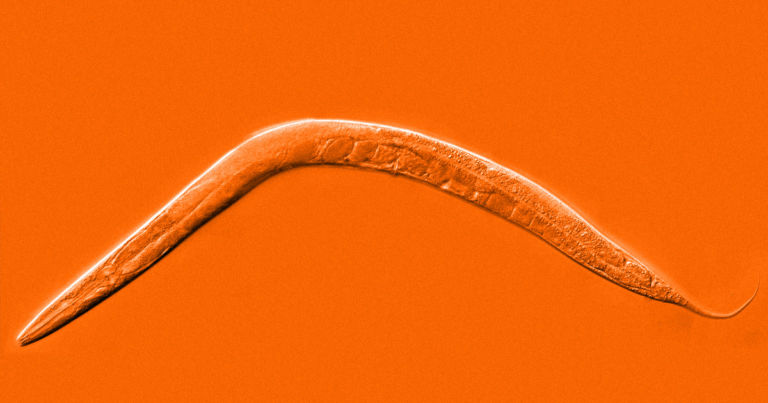Scientists extend lifespan of worms by 500 percent