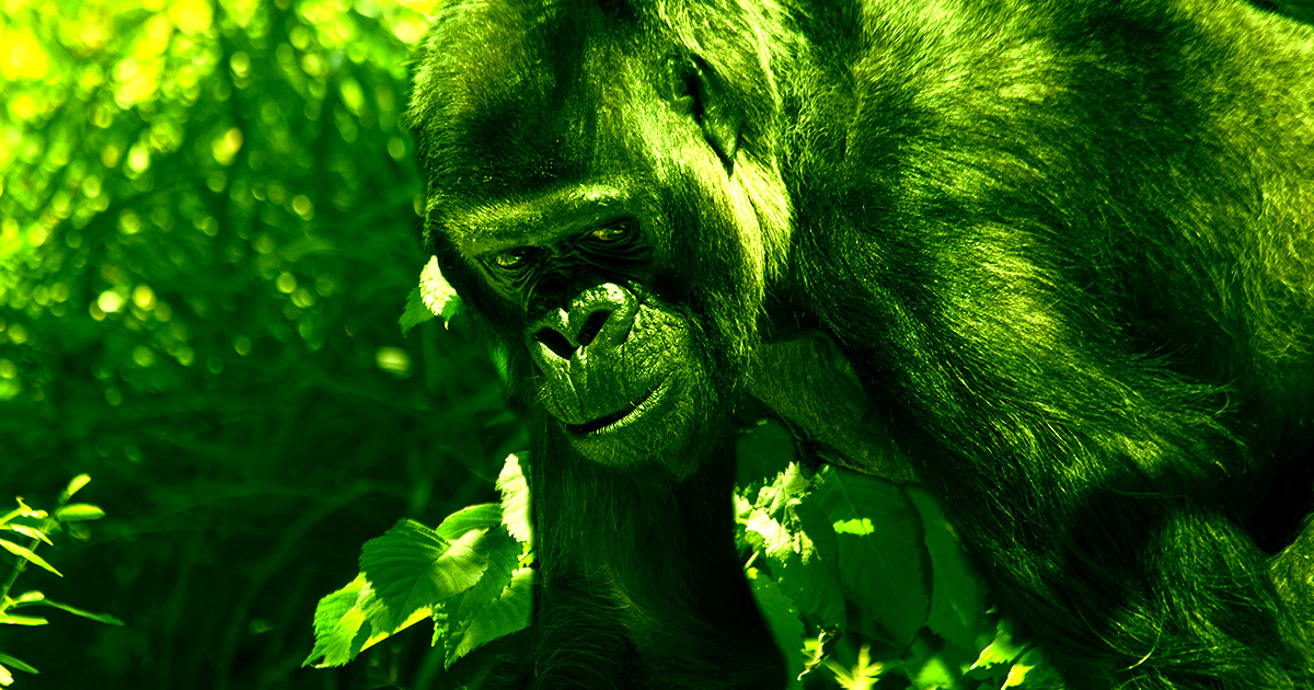 Great Apes Have Become the First Non-Humans to be Vaccinated for COVID - Futurism