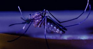 Florida's Gene-Hacked Mosquitoes Have Hatched and Taken Flight